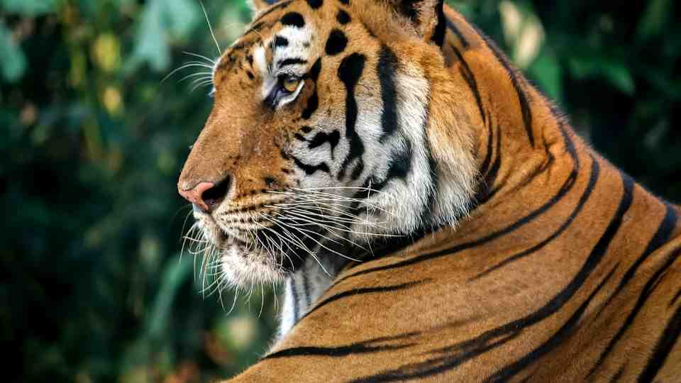 40 Types of Tiger Dream Meaning with Illustrations
