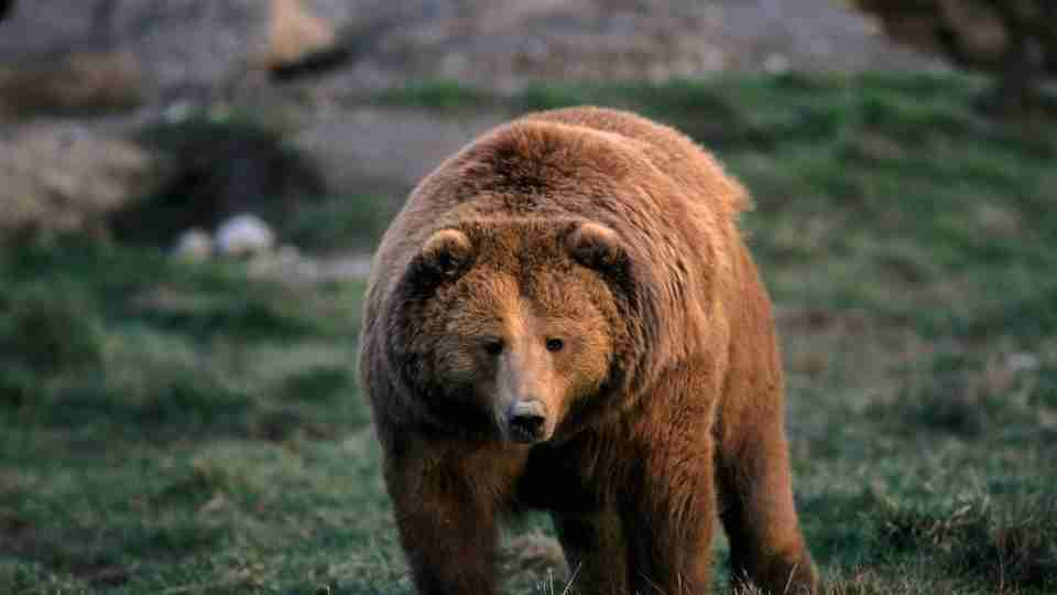 46 Types of Dreams about Bears & their Meanings ThePleasantDream