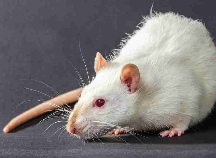 Dreaming of Rats 150+ Plots & Their Meanings