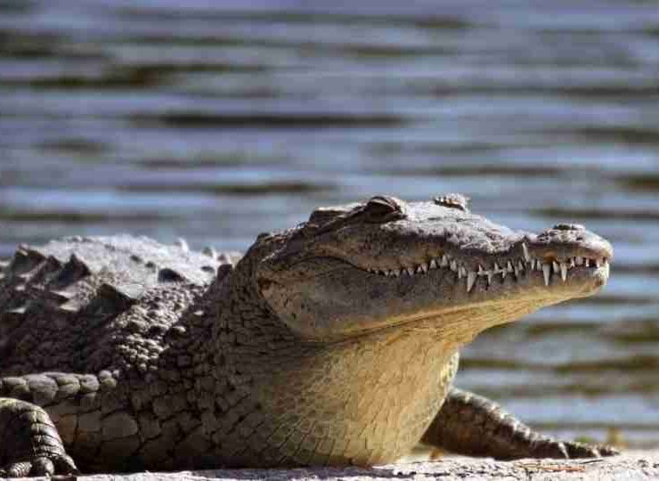 Dreams about Alligators – 40 Types and Interpretation