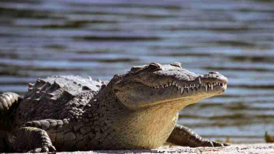 Dreams about Alligators – 40 Types and Interpretation