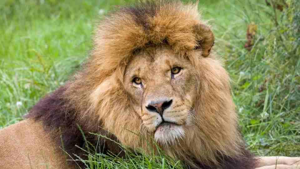 Lion in Dream - 40 Dreams Scenarios & Its Meanings