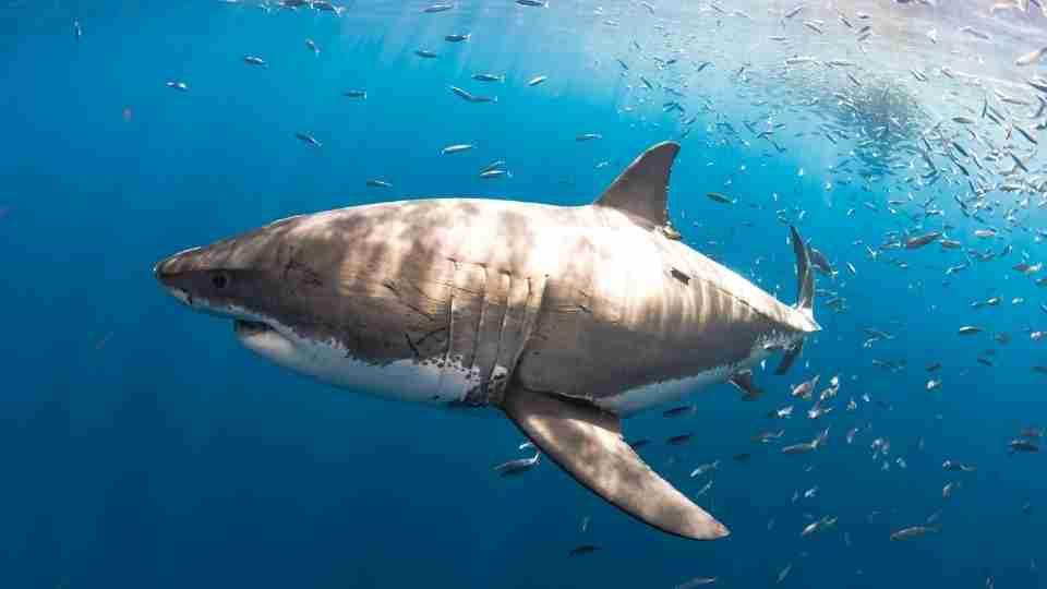 Dream about sharks – 52 Types & its Interpretations