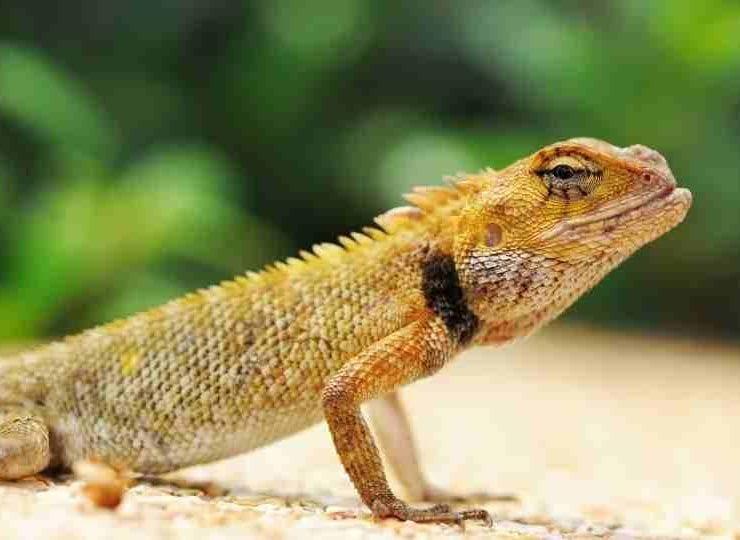 Lizard in Dream - 65 Dream Scenarios & their Meanings