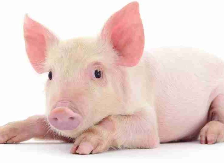 Pig in Dream - 79 Dream Types and Their Meanings