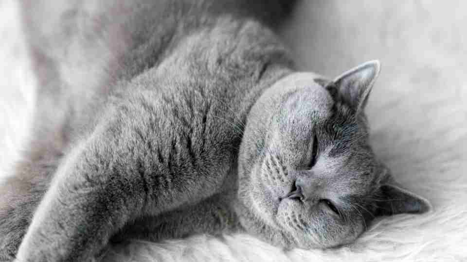 What Do Cats Dream About? Here's Everything You Need to Know!
