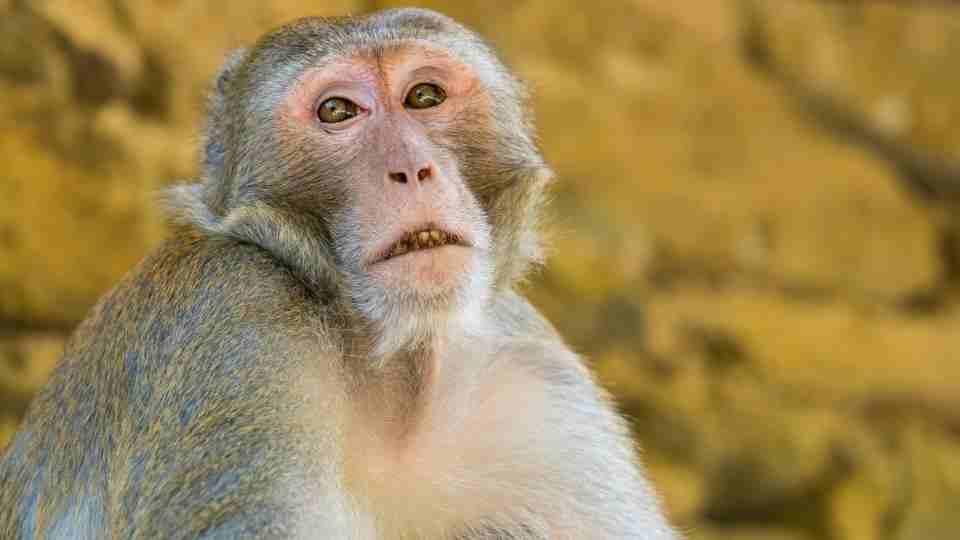 Monkey In Dream - 147 Dream Plots & Their Meanings