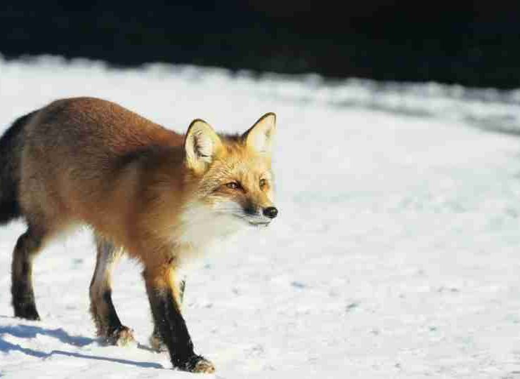Did You Dream of Fox Read About This Trickster Here!